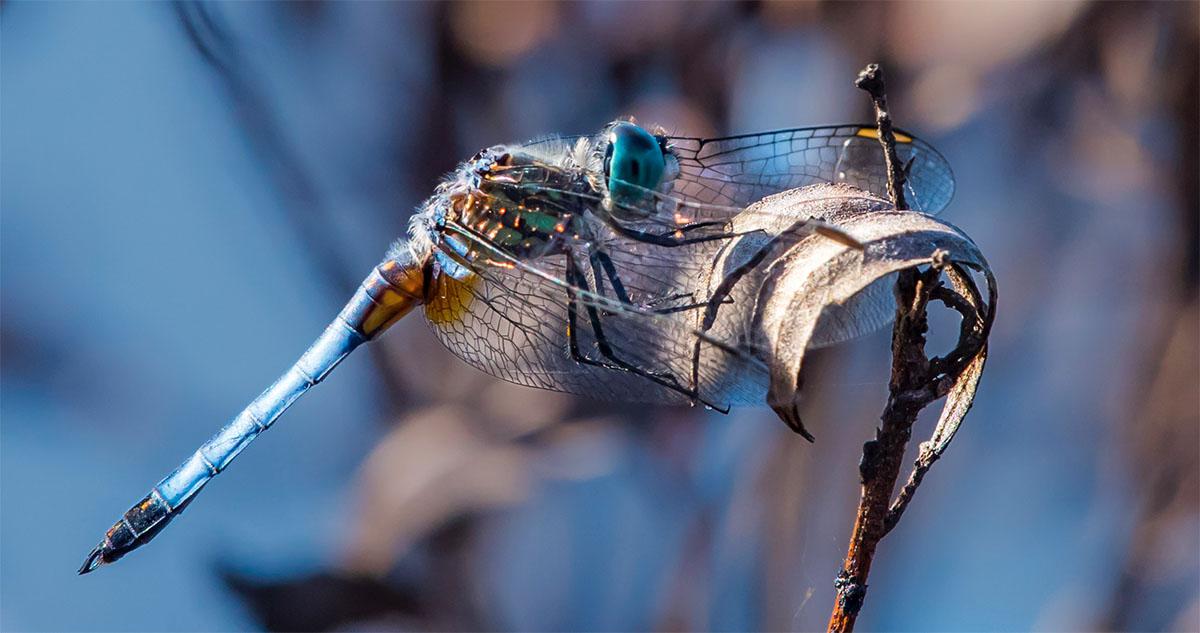 Brinkerhoff - Dragonfly