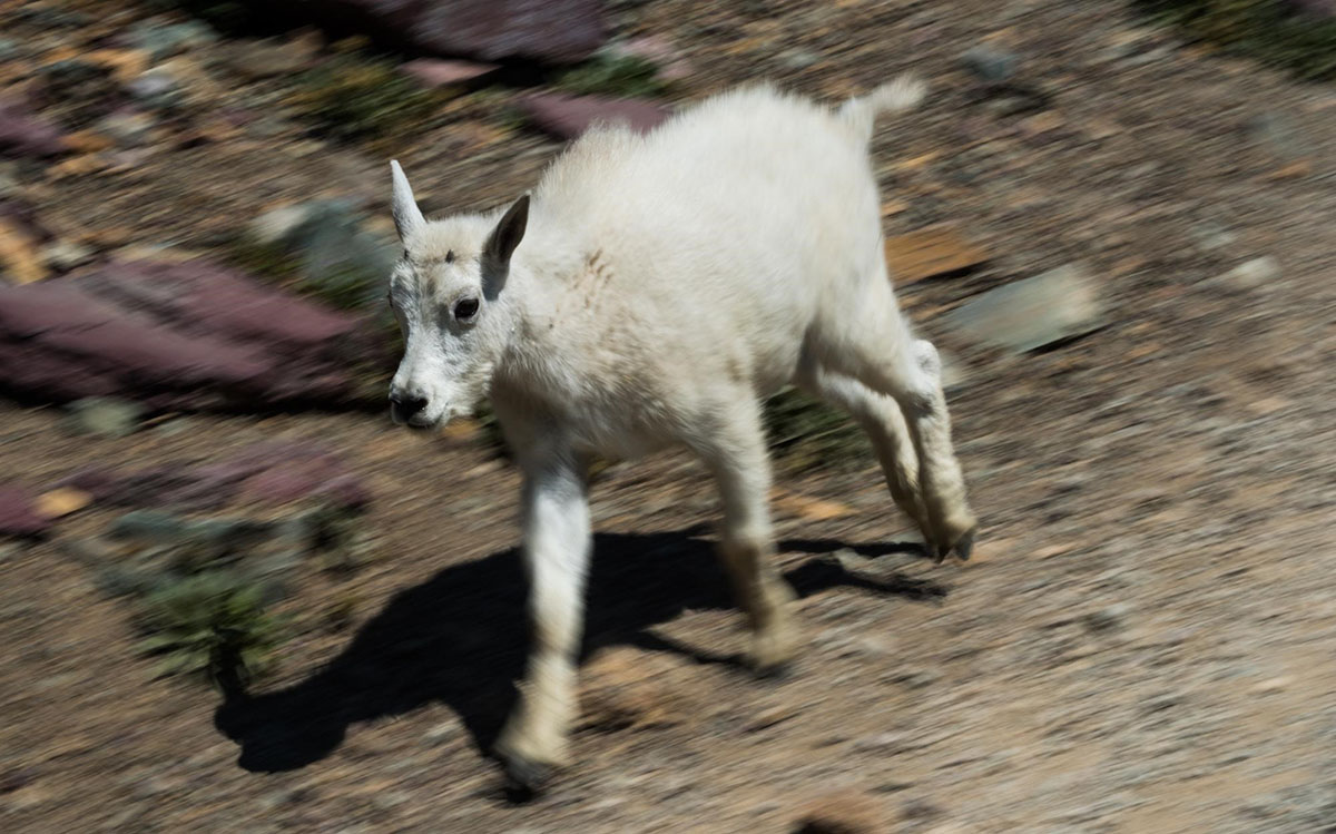 Brinkerhoff - Goat