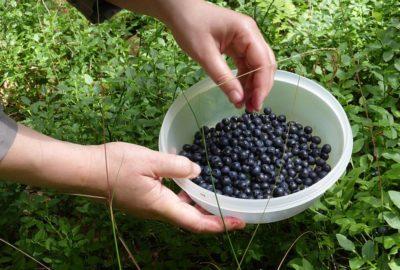 Picking Maine blueberries