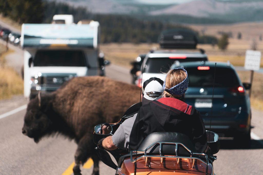 Buffalo crosses busy road